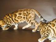 Бенгальские   котята.......
