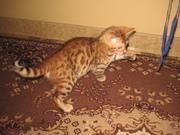 Бенгальские котята,  леопардики