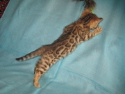Бенгальские   котята., , ..